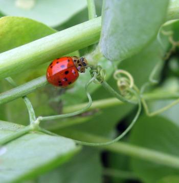 LadybugOnPeaPlant2