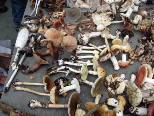 MushroomTableTalk