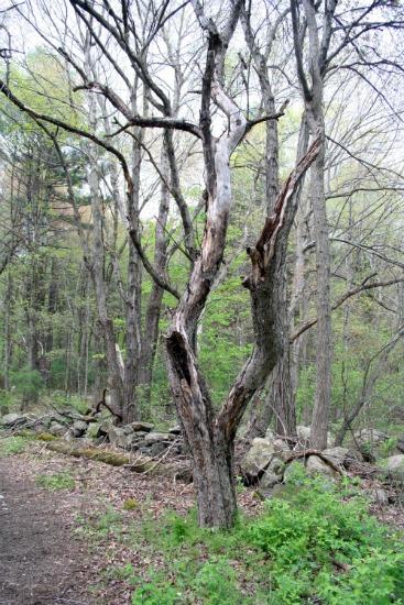 Dead Oak 3536