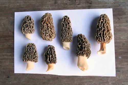 Morel Mushrooms Look Alike