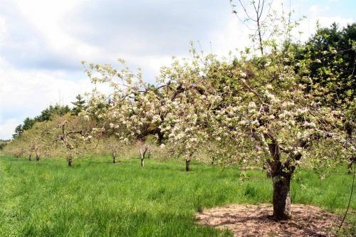 Apple Tree 3500