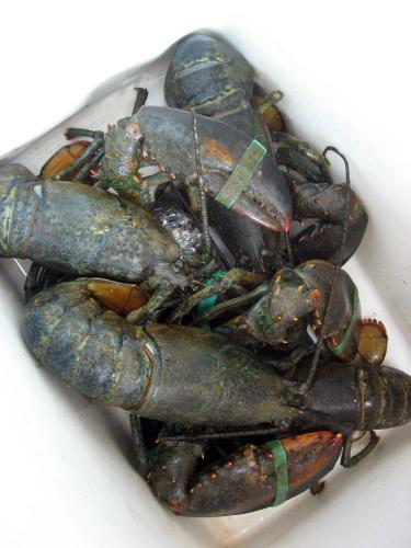 Lobsters6547