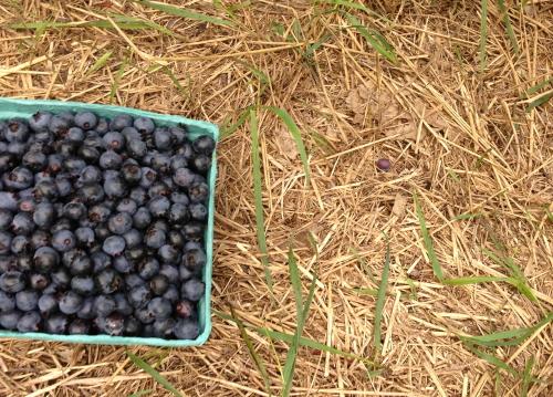 Blueberries_0313