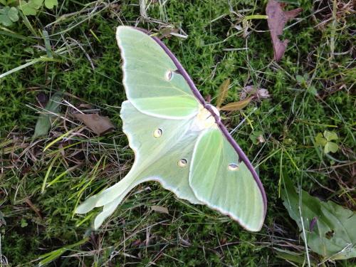 Luna Moth_0232