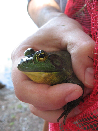 Frog_5956