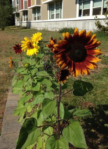 Sunflowers_0653