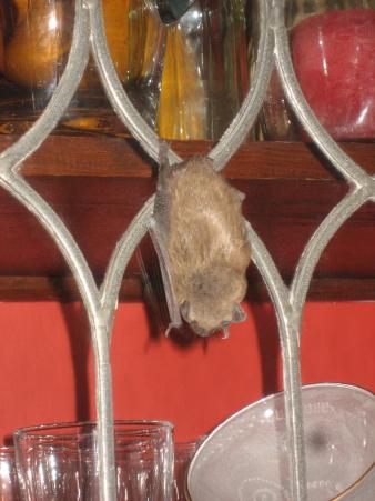 Bat_6587