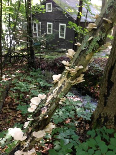 Oyster Mushrooms_2055