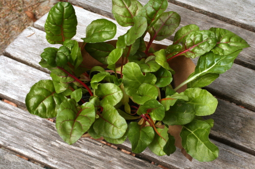 Swiss Chard Sprouts_1903