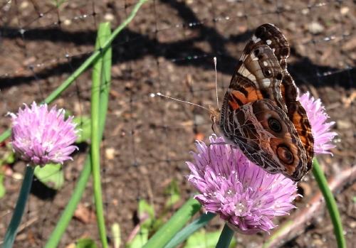 Butterfly_3559
