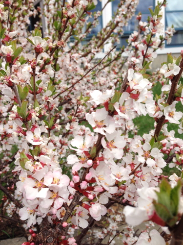 Cherry Blossoms_3287