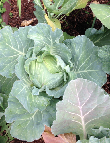Cabbage_4679