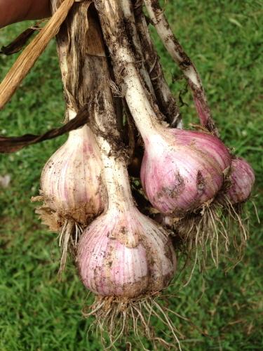 Garlic_0278
