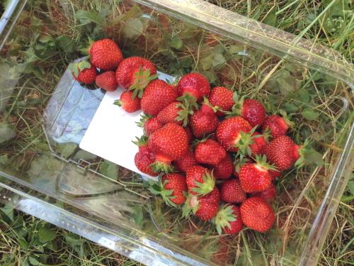 Strawberries_3598