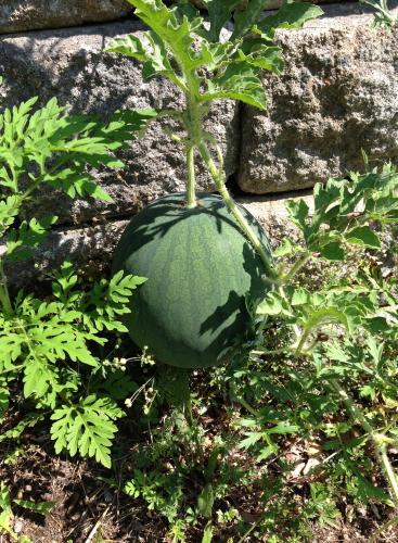 Watermelon_4378