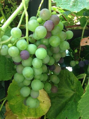 Grapes_4713