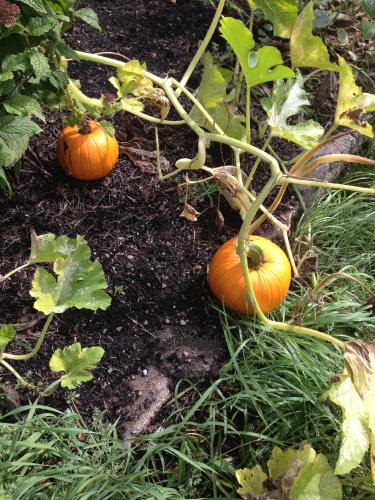 Pumpkins_2440