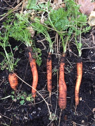 Carrots_2852