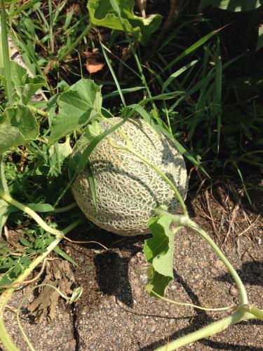 Tuscan melon_4925