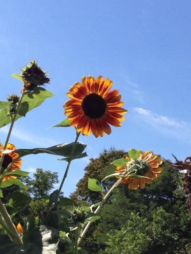 Sunflowers_5056