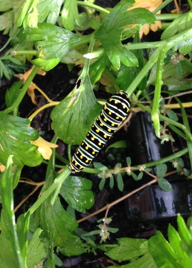 Caterpillar_5201