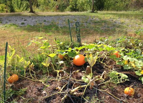 Pumpkins_5175