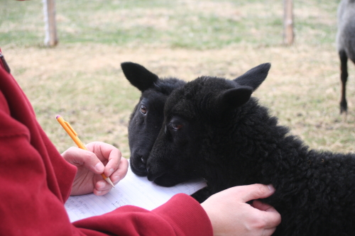 Lambs_5317